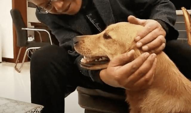 Golden Retriever being pet