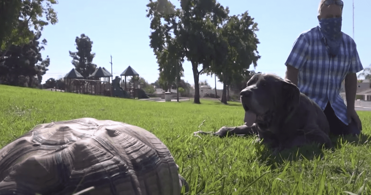 Great Dane and tortoise friends