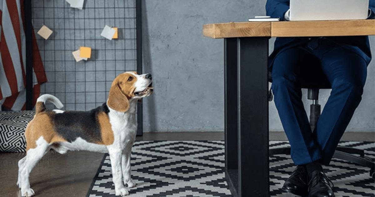 Beagle at Work