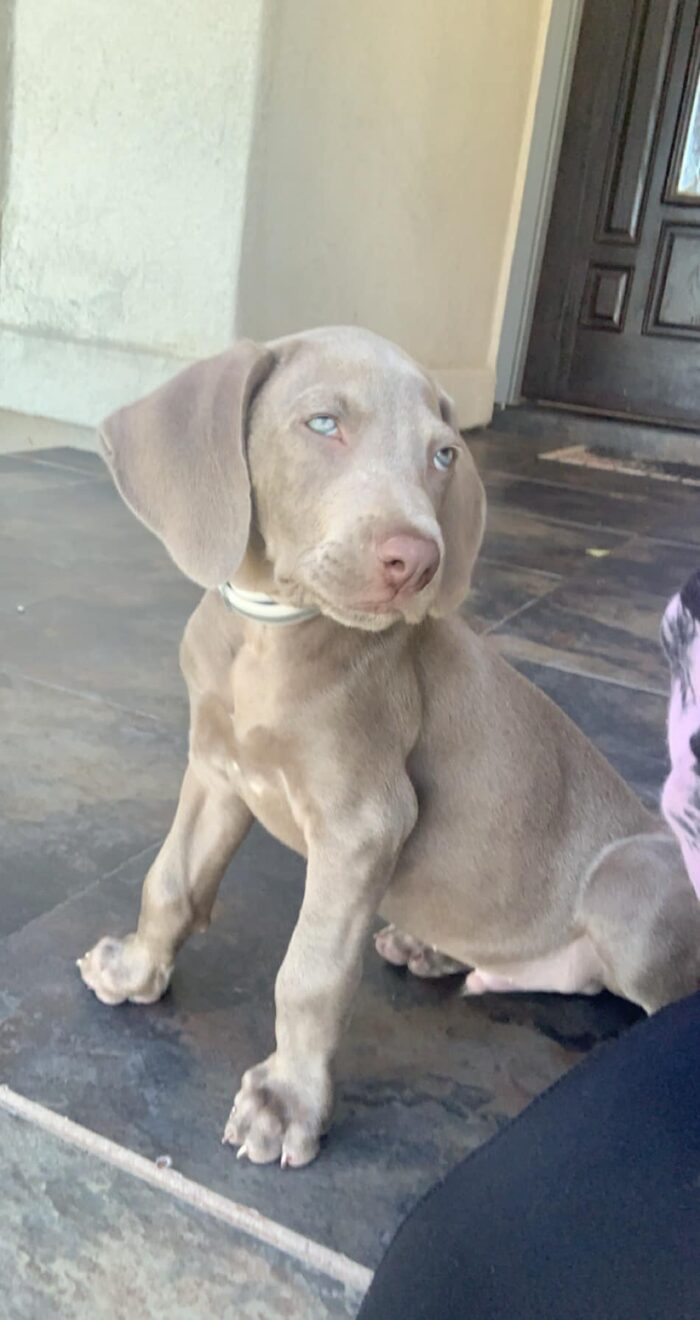 Weimaraner disapproval