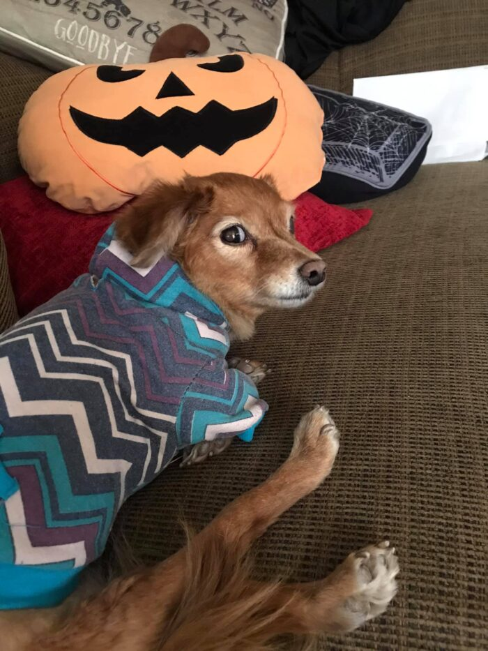 angry dog wearing sweater