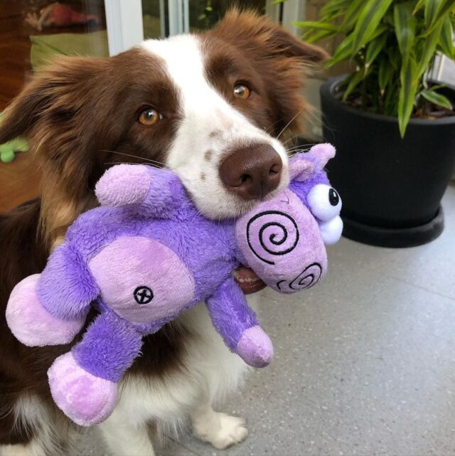 border collie holding toy