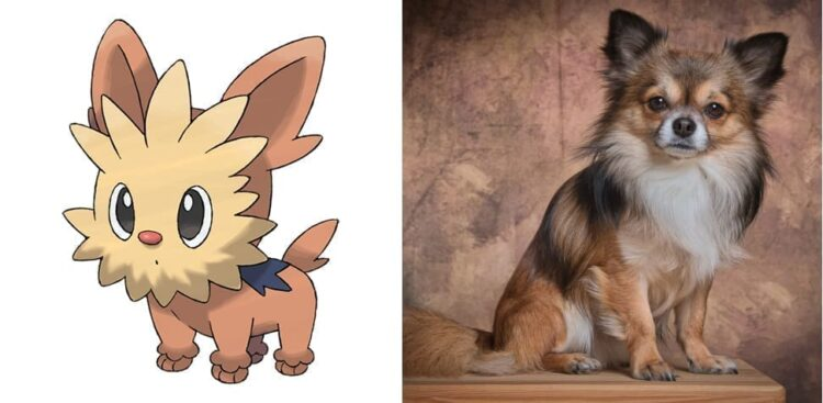 Lillipup and Chihuahua