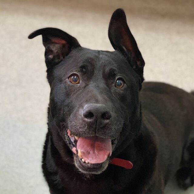 Adoptable senior dog RSPCA