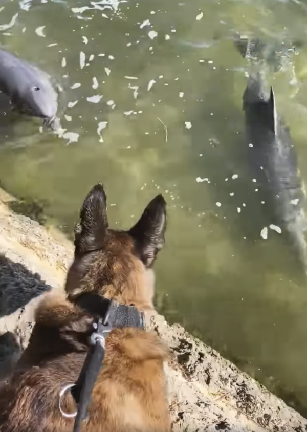 Dog looking at dolphins
