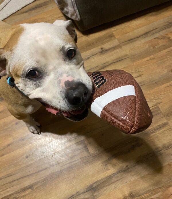 Pit Bull Holding Football