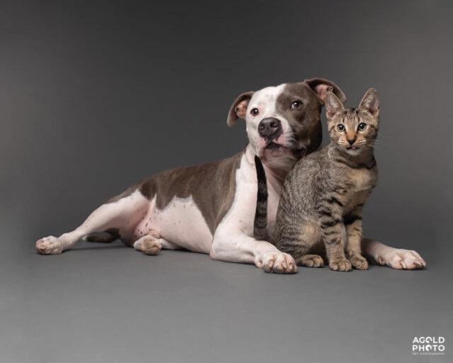 Pit Bull and Kitten