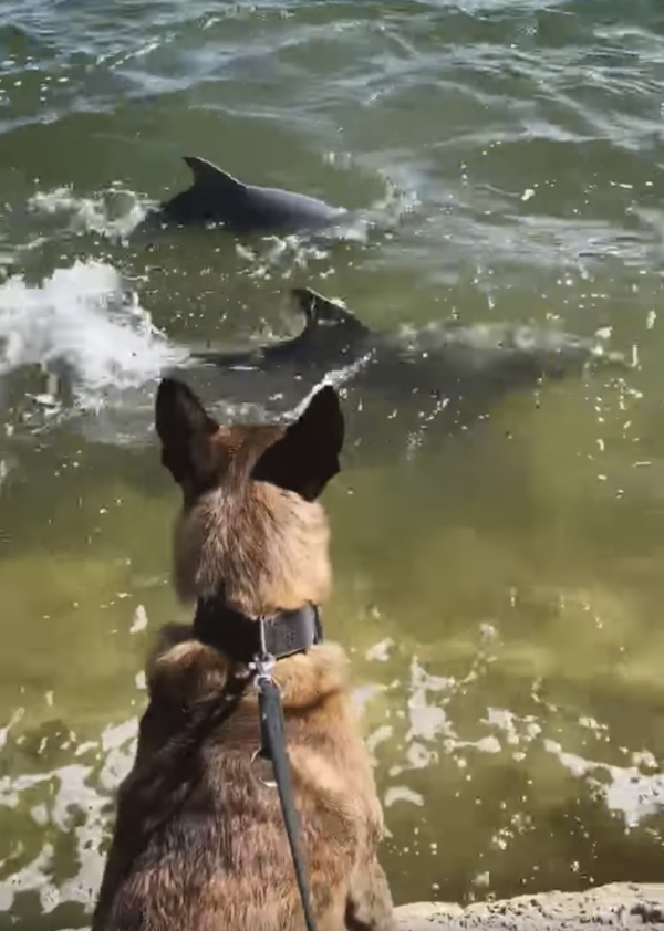 Police dog and dolphins