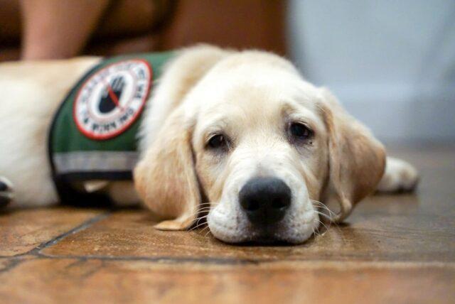 Service dog resting