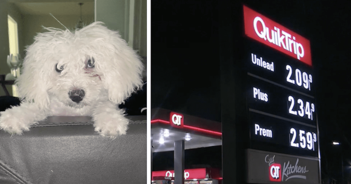 Bichon Stolen at QuikTrip