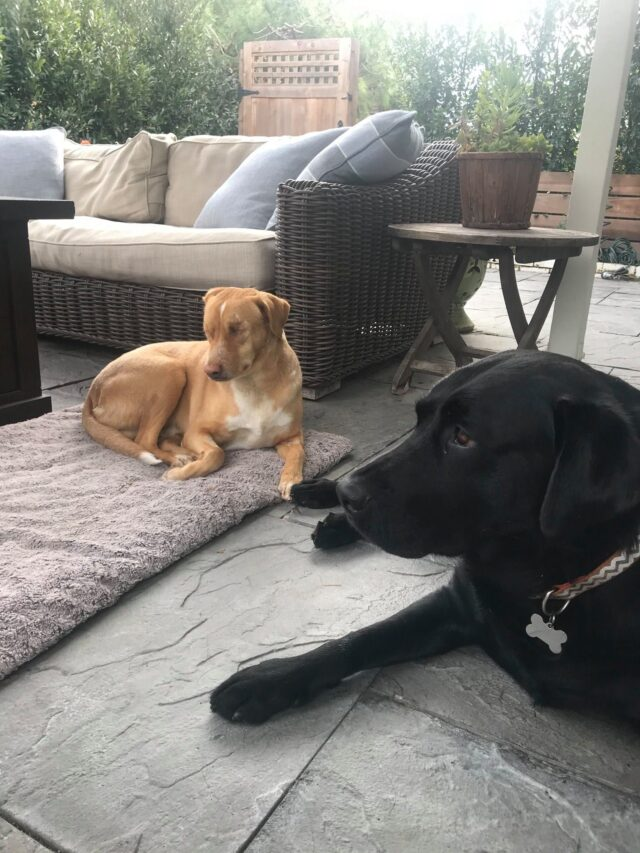 Blind dog and foster brother