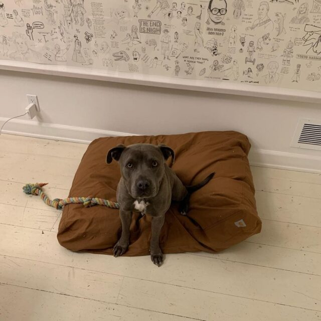 Fig the Rescue Pit Bull