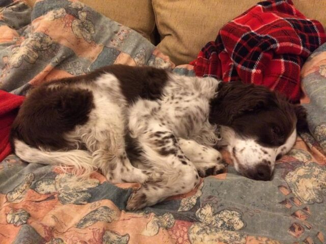 Springer Spaniel napping