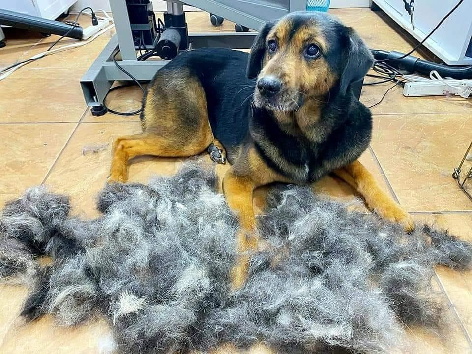 dog-sheds-grooming