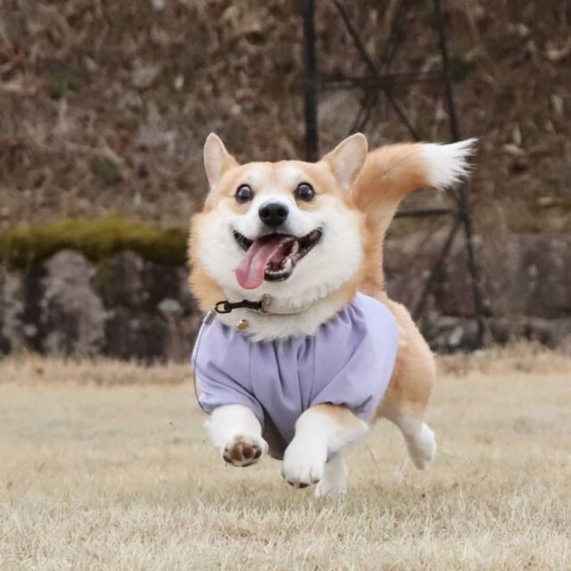 Corgi runs with shirt