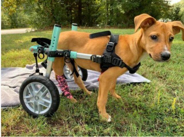 Courage Paralyzed Dog
