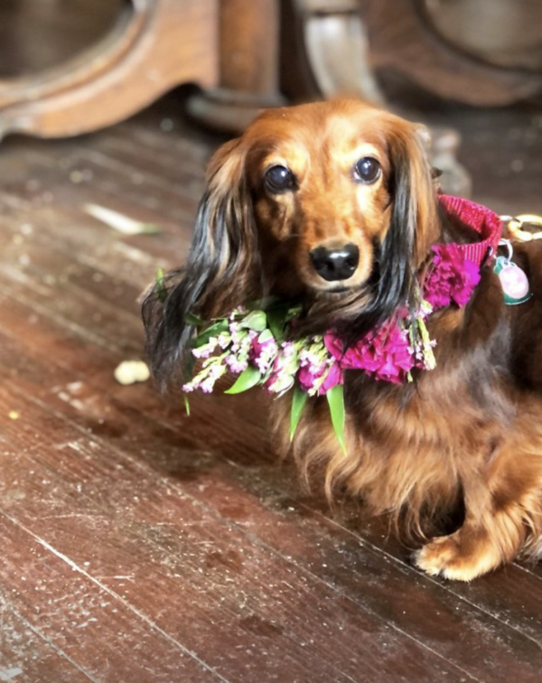 Dachshund delivers flowers