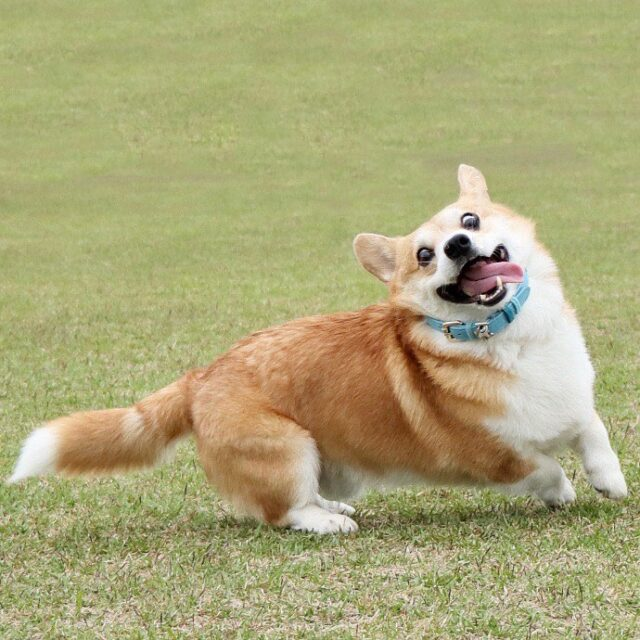Gen Corgi excited