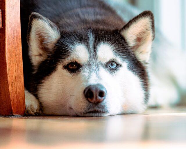 Husky aspirin for dogs