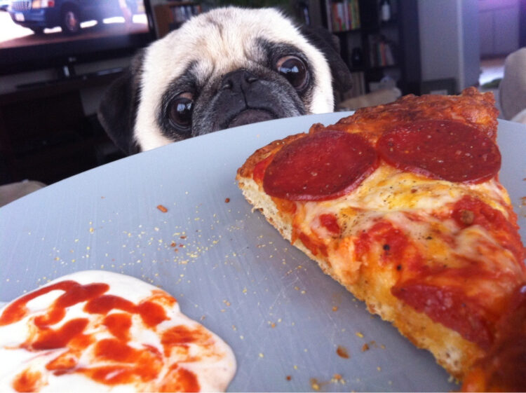Pug stares at pizza