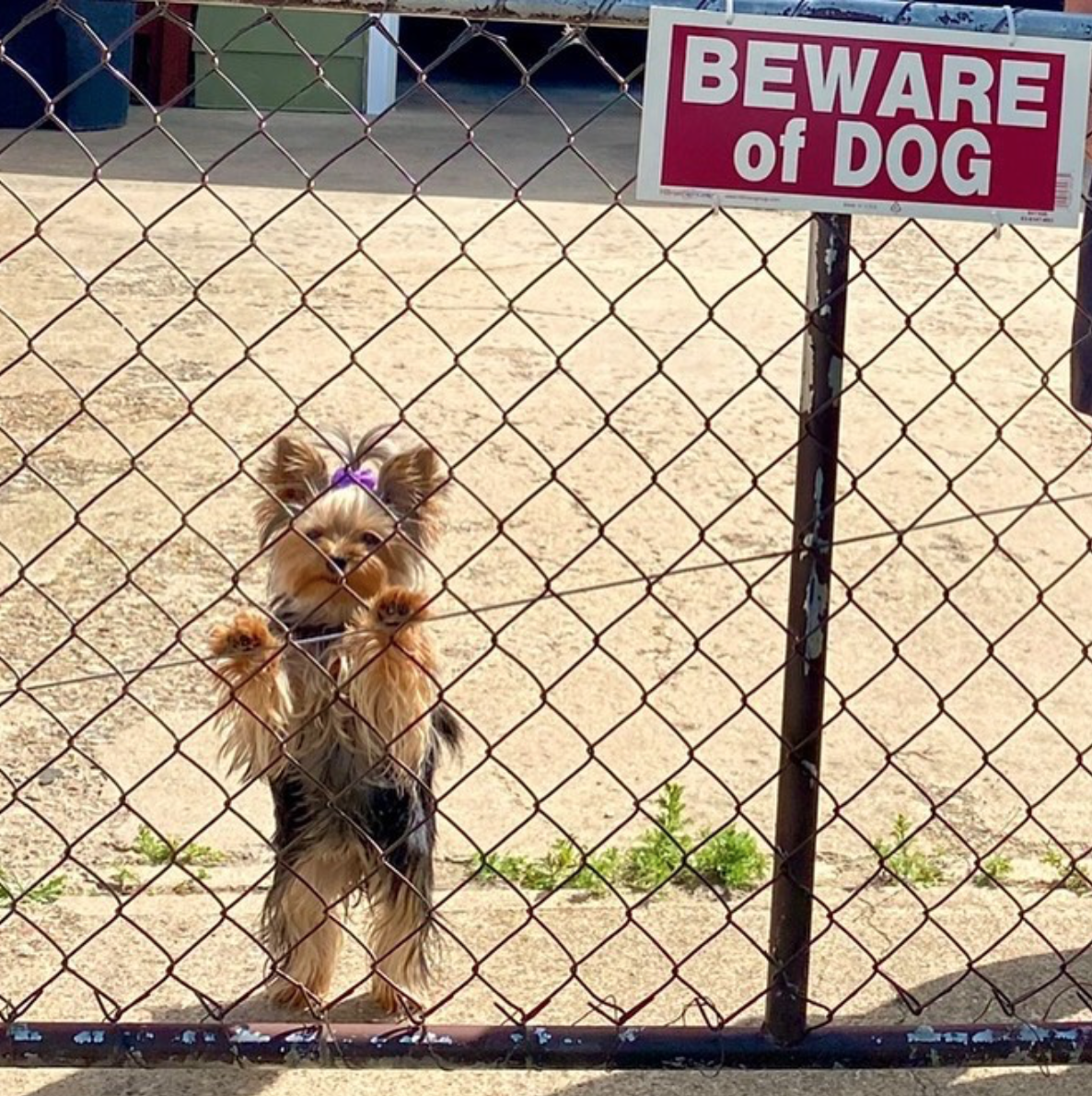 Yorkie-Beware-of-Dog Sign