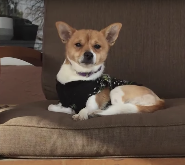 Three legged chihuahua on the couch