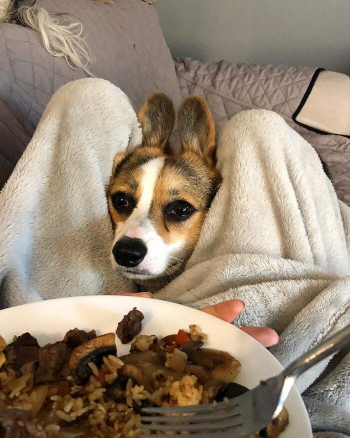 Begging Corgi