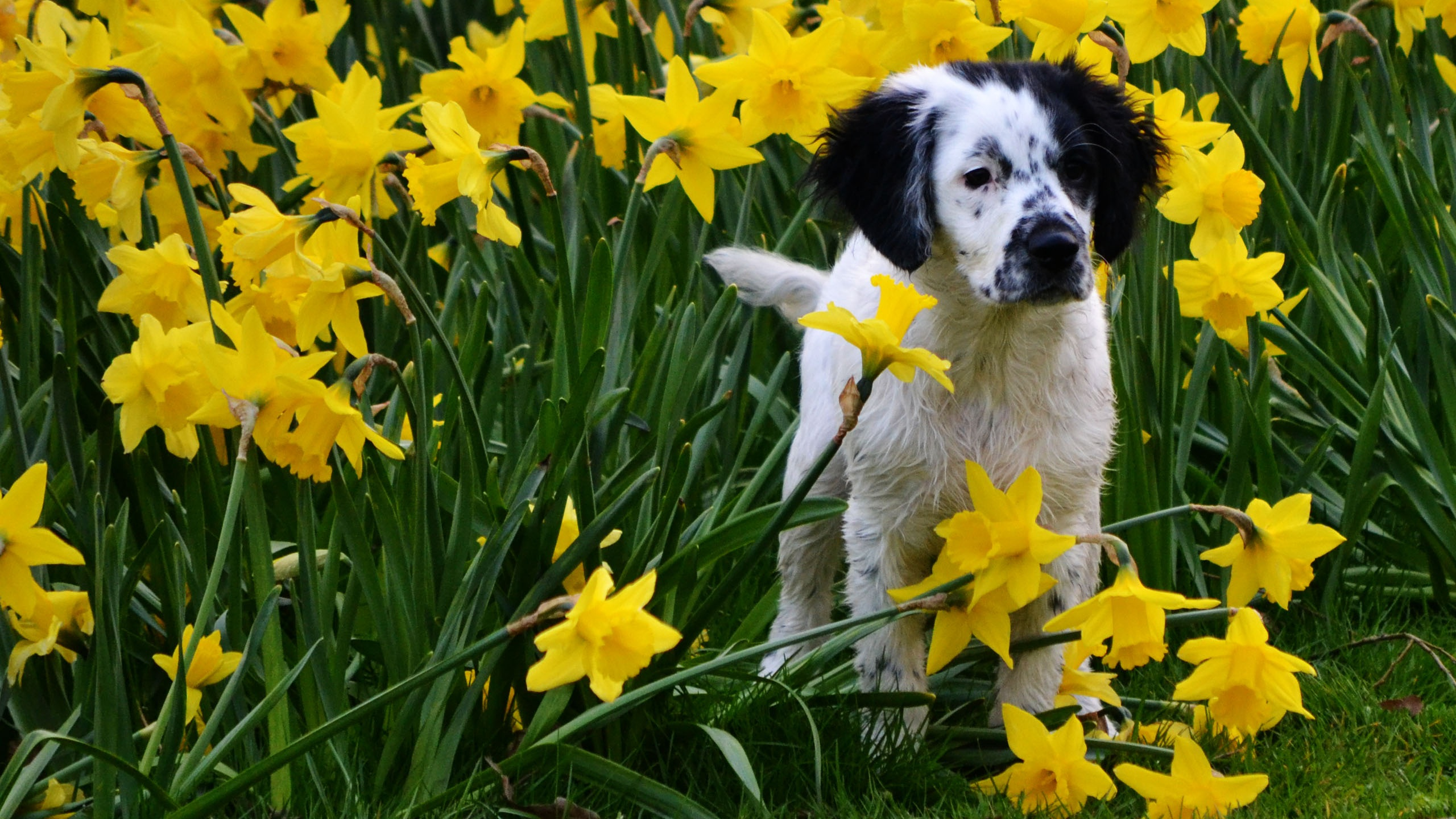 Dog with daffodil flowers