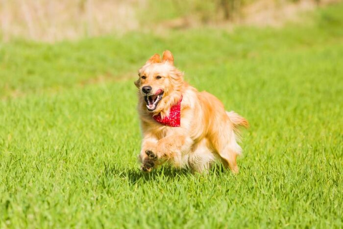 Golden Retriever is running