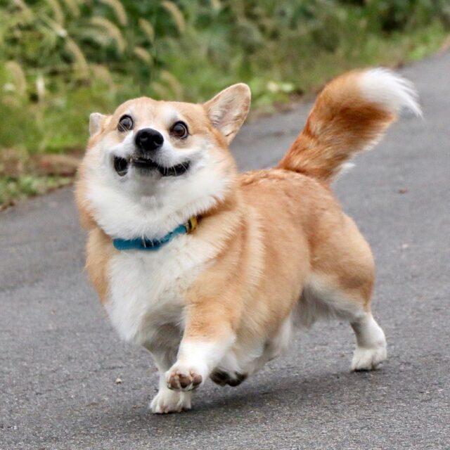 Goofy Corgi