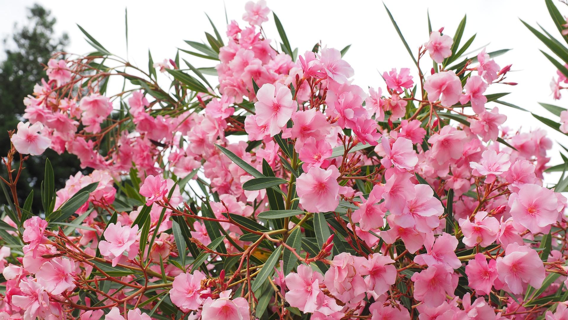 Oleander-flowers