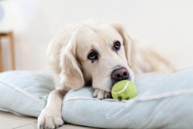 Anxious dog with tennis ball