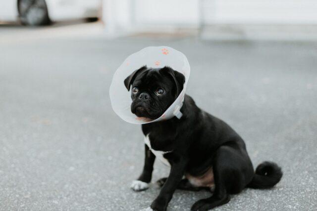 Dog wearing cone