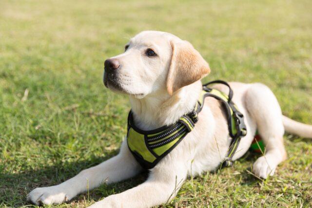 Labrador Retriever puppy in training
