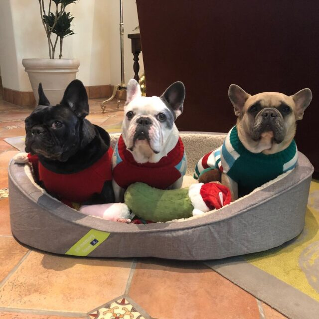 Lady Gaga's French Bulldogs Christmas