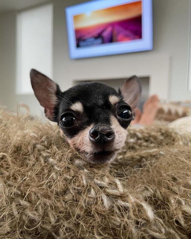 Tiny Senior Chihuahua