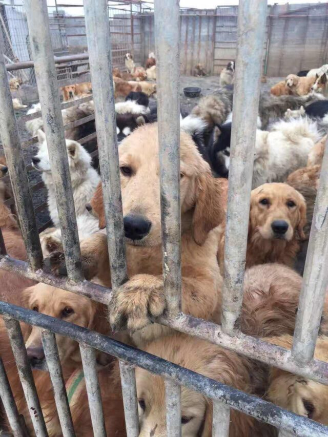 Dogs China Meat Trade