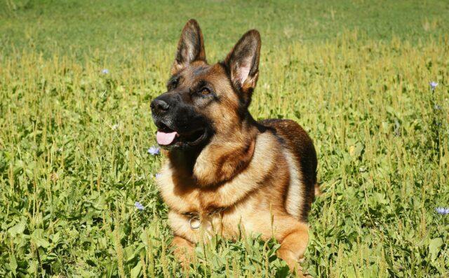 German Shepherd Dog Potty Training