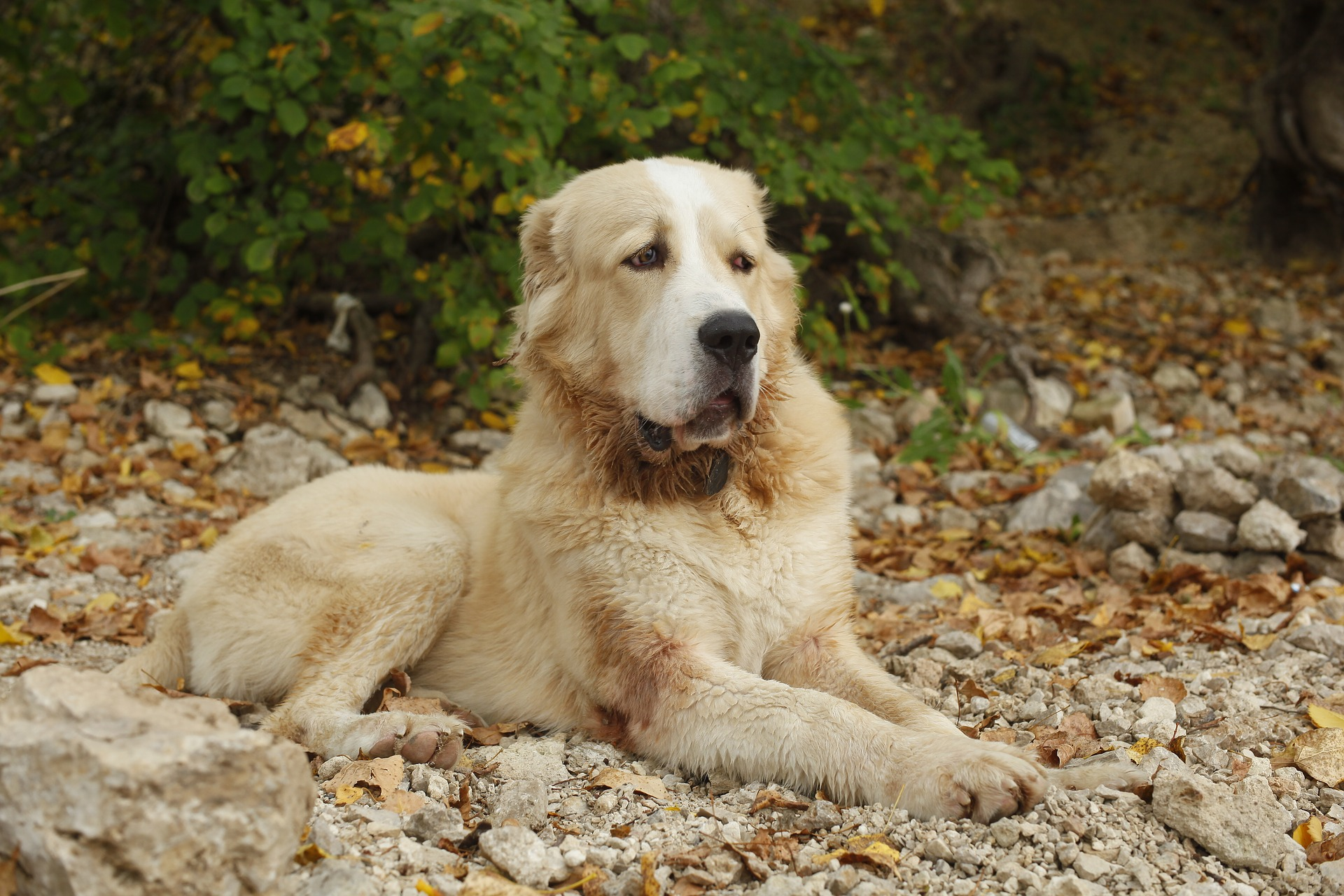 Alabai dog breed