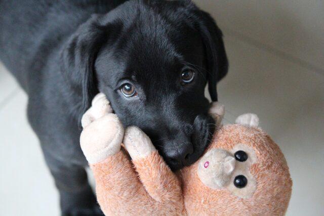 Lab puppy begging