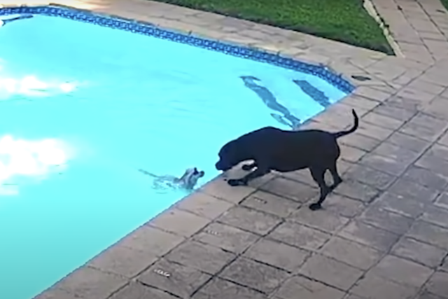 Pit Bull rescuing Pomeranian from drowning