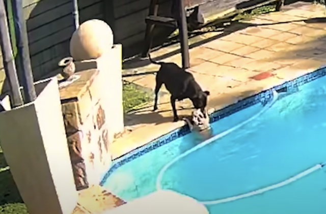 Pit Bull Tries to Save Drowning Dog