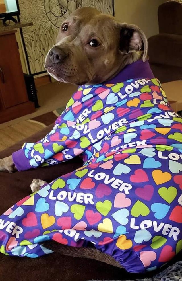 Pit Bull wearing heart pjamas