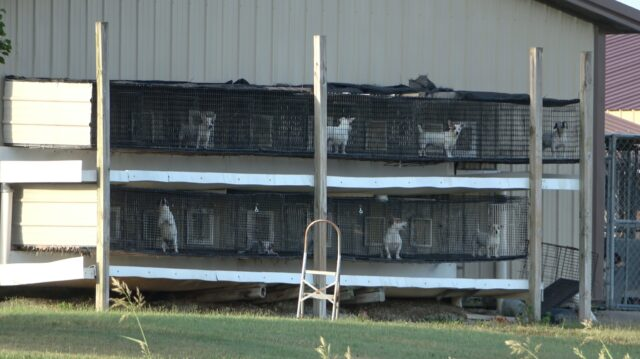 Puppy mill dogs in cages