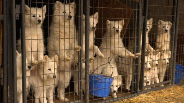 Samoyed puppy mill