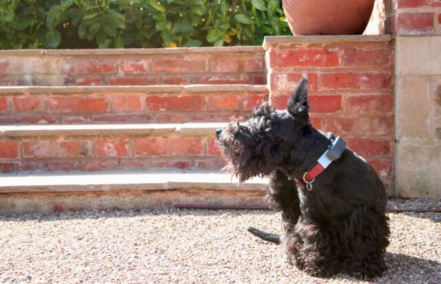 Scottish Terrier itching