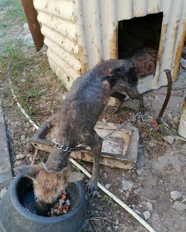 Severely neglected dog before