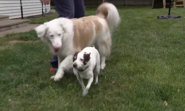 Deaf dog playing with friend