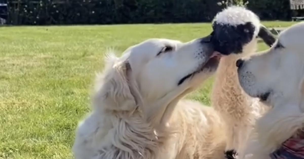 Dog adopts lamb