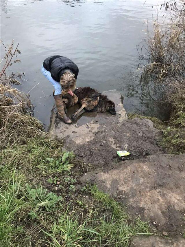 German Shepherd saved from drowning